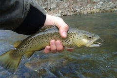 trout-fishing-brown-trout