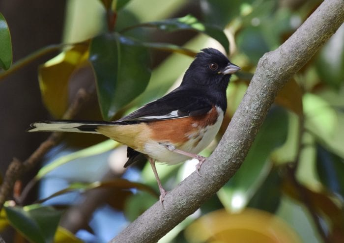 eastern towhee perched on branch